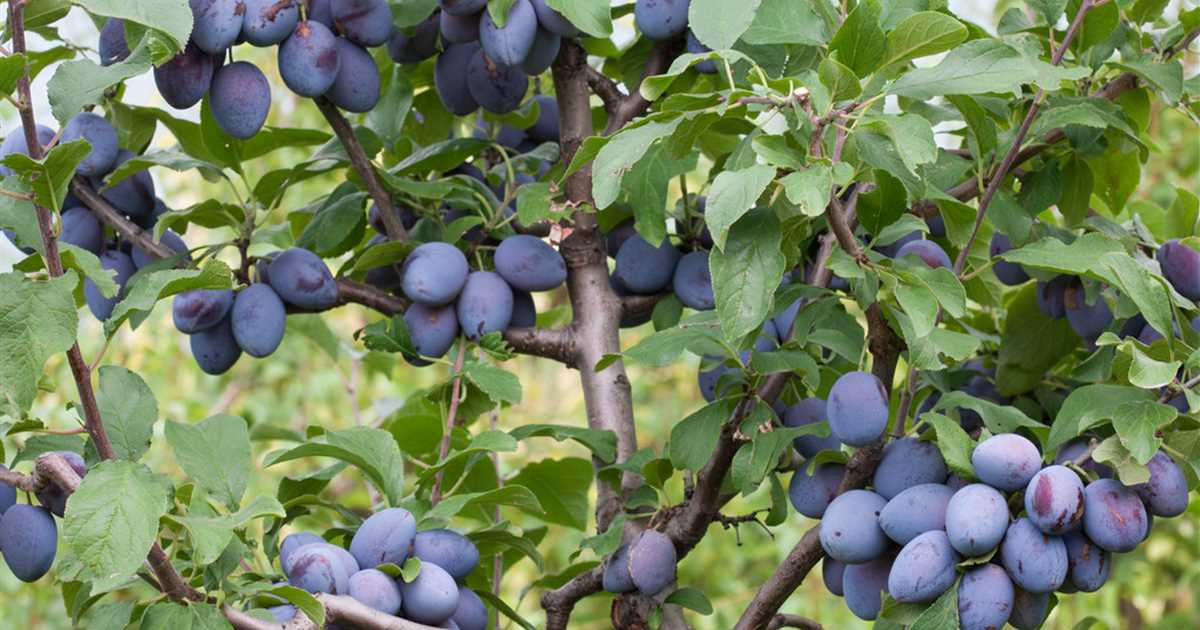 Prunus domestica subsp. domestica 'Topking', Zwetsche 'Topking' -  Baumschule Ley