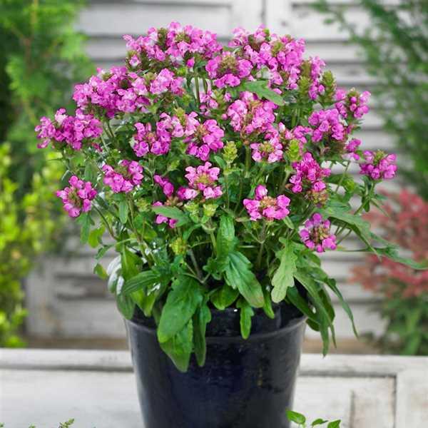 Prunella Grandiflora, Rosa, Großblütige Braunelle